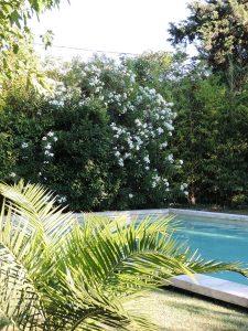 Laurier blanc piscine Mazan